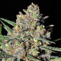 Green Love Potion (Samsara Seeds) feminisiert
