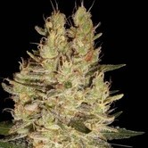 Crazy Miss Hyde (Samsara Seeds) feminized