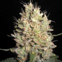 Crazy Miss Hyde (Samsara Seeds) femminizzata