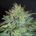 Sweet Black Angel (Samsara Seeds) femminizzata