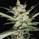 Supersonic Cristal Storm Automatic (Samsara Seeds) feminized