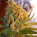 Shot Adrenaline Automatic (Samsara Seeds) feminized