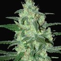 Thunder Bloody Mary Automatic (Samsara Seeds) feminisiert