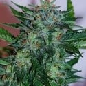 Flash Babylon (Samsara Seeds) feminisiert