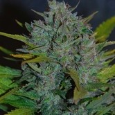 Ultraviolet Automatic (Samsara Seeds) feminized