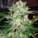 Mazar Kush (World Of Seeds) feminized