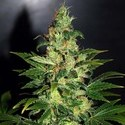 Chronic Haze (World Of Seeds) feminisiert