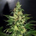 Chronic Haze (World Of Seeds) feminized