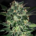 Domina Star (World Of Seeds) feminized