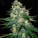 Skunk 47 (World Of Seeds) feminisiert
