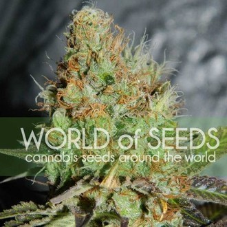 Afghan Kush Special (World Of Seeds) feminisiert