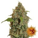 Chronic Thunder (Barney's Farm) femminizzata