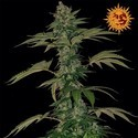 Grape Muerte (Barney's Farm) feminisiert