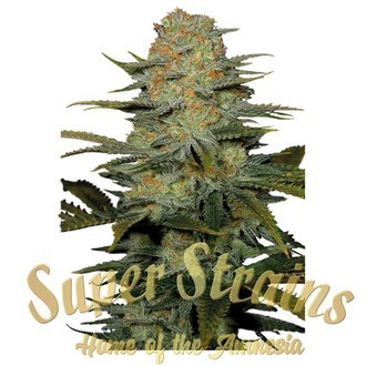 Amajikoym (Super Strains) feminized