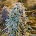 Blue Dream (Humboldt Seeds) feminisiert