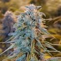 Blue Dream (Humboldt Seeds) feminisiert
