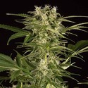 Lemon Juice Express Auto (Humboldt Seeds) feminisiert