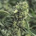 OG Kush (Humboldt Seeds) feminisiert