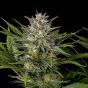 Pineapple Skunk (Humboldt Seeds) femminizzata
