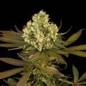 Sour Blueberry (Humboldt Seeds) feminisiert