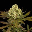 Sour Blueberry (Humboldt Seeds) feminized
