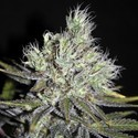 CBD Sweet And Sour Widow (CBD Crew) regolare