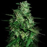 Northern Delights Auto (VIP Seeds) feminized