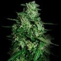 Northern Delights Auto (VIP Seeds) feminisiert