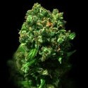 Peace (VIP Seeds) feminized