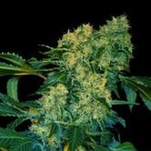 Ghingis Khan (VIP Seeds) feminized