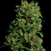 Critical VIP (VIP Seeds) feminized