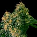 Torpedo (VIP Seeds) feminized