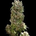 White Spanish (VIP Seeds) feminized