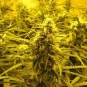 Channel + (Medical Seeds) femminizzato