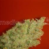 Jack La Mota (Medical Seeds) femminizzato