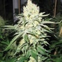 No Name (Medical Seeds) feminisiert