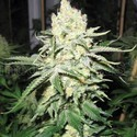 No Name (Medical Seeds) femminizzato