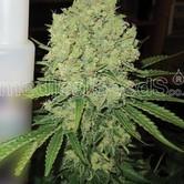 Prozack (Medical Seeds) feminized