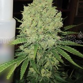 Prozack (Medical Seeds) femminizzato