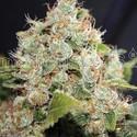 BCN Sour Diesel (Medical Seeds) femminizzato