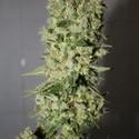BCN Sour Diesel (Medical Seeds) feminisiert