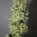 Sour Diesel (Medical Seeds) feminized