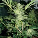 White Widow (Medical Seeds) feminisiert