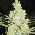 1024 (Medical Seeds) feminized