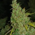 1024 (Medical Seeds) femminizzato