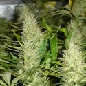 Malakoff (Medical Seeds) feminisiert