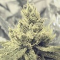 Y Griega (Medical Seeds) feminized