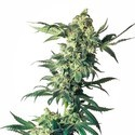 Northern Lights (Sensi Seeds) feminisiert