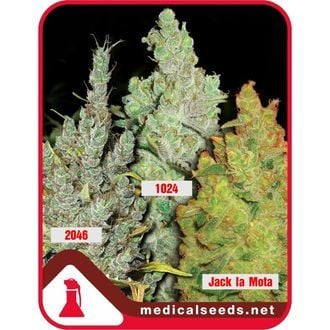 Collection 2 (Medical Seeds) feminisiert