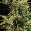 Super Skunk Autoflowering (Vision Seeds) feminisiert